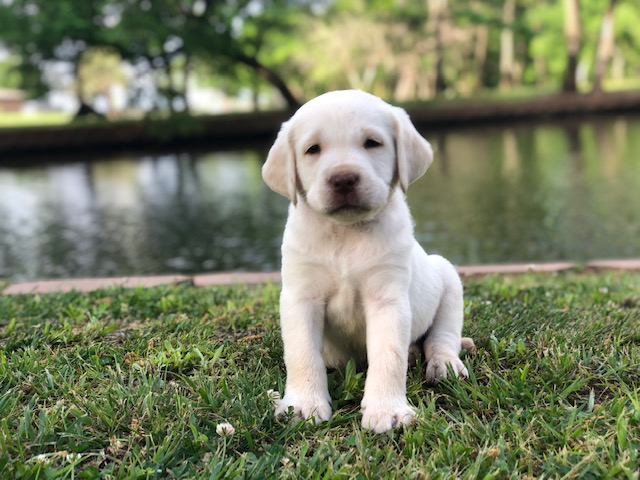 Best-Yellow-Lab-Breeder-Near-Me-Augustus Fox Red Labs for sale in Texas | Oklahoma |  Missouri