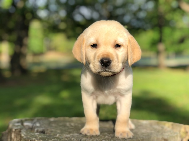 Best-Yellow-Lab-Breeder-Near-Me-Dublin Lab Puppies for Sale