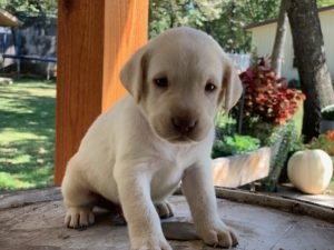 Caddy-yellow-lab-breeder-Oklahoma-300x225 Lab Puppies for sale Oklahoma