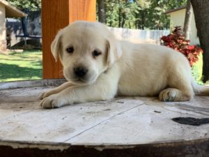 Cagney-yellow-lab-breeder-Oklahoma-300x225 Lab Puppies for sale Oklahoma