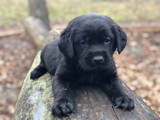 black-lab-puppies-oklahoma-pearl How much for Lab Puppies