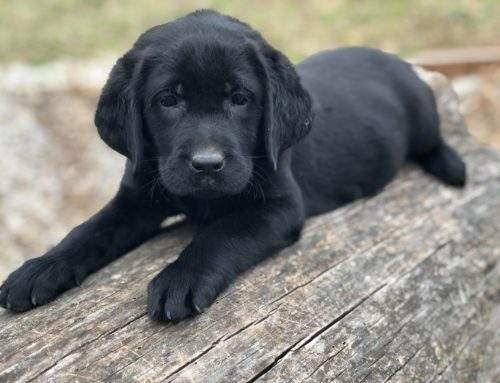 Black Labradors for sale