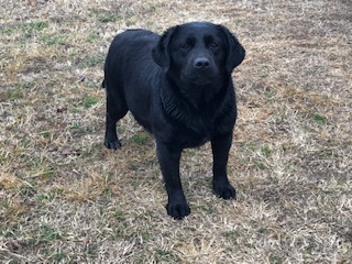 Black Lab Breeder Oklahoma City Tulsa
