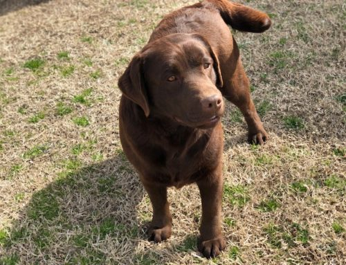 Kennedy – Sooner Labs – Lab Breeder Oklahoma