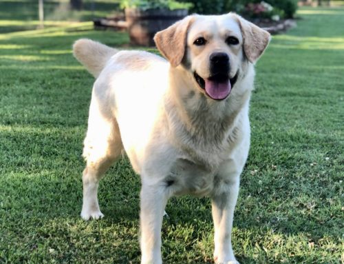 Madison – Sooner Labs – Lab Breeder Oklahoma