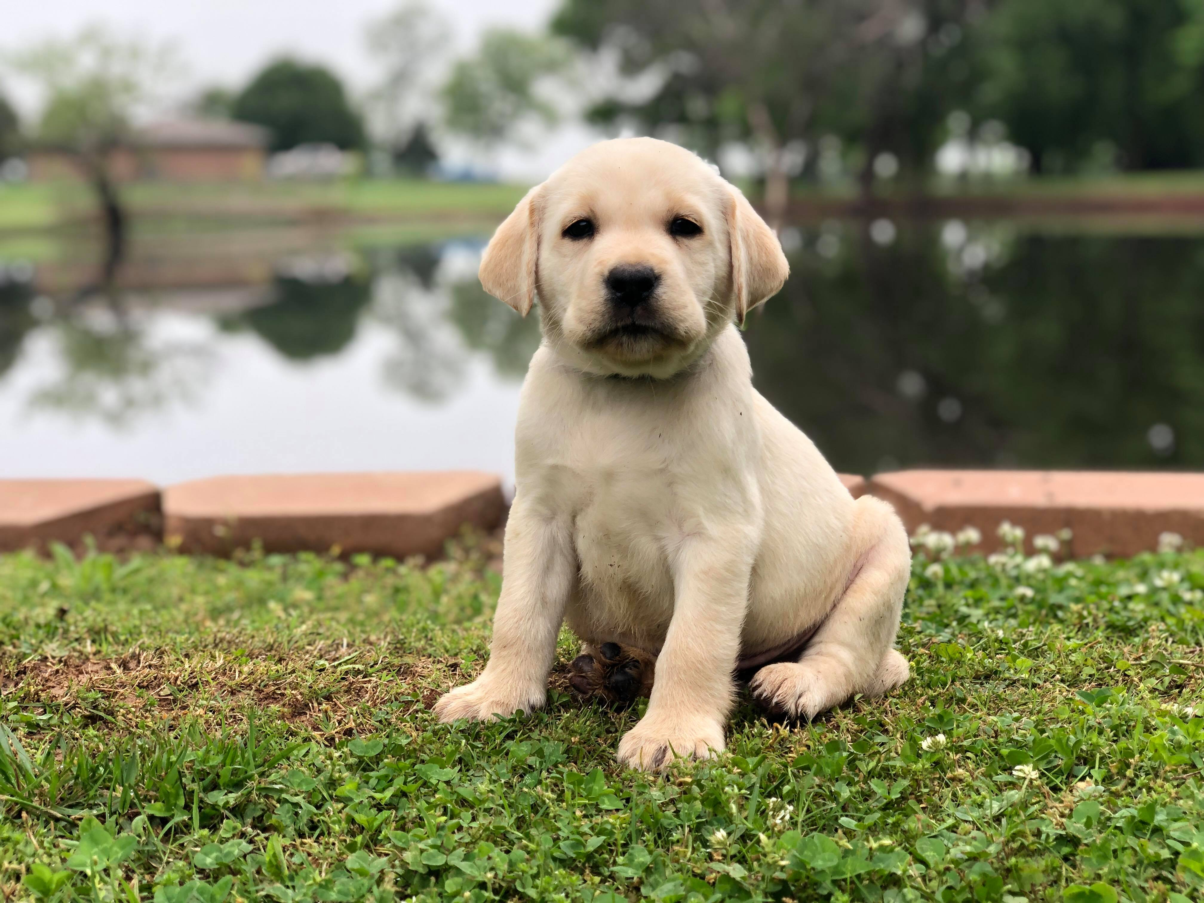 yellow-lab-AKC-breeder-Oklahoma-upcoming-litter-2-1 Lab Puppies for Sale