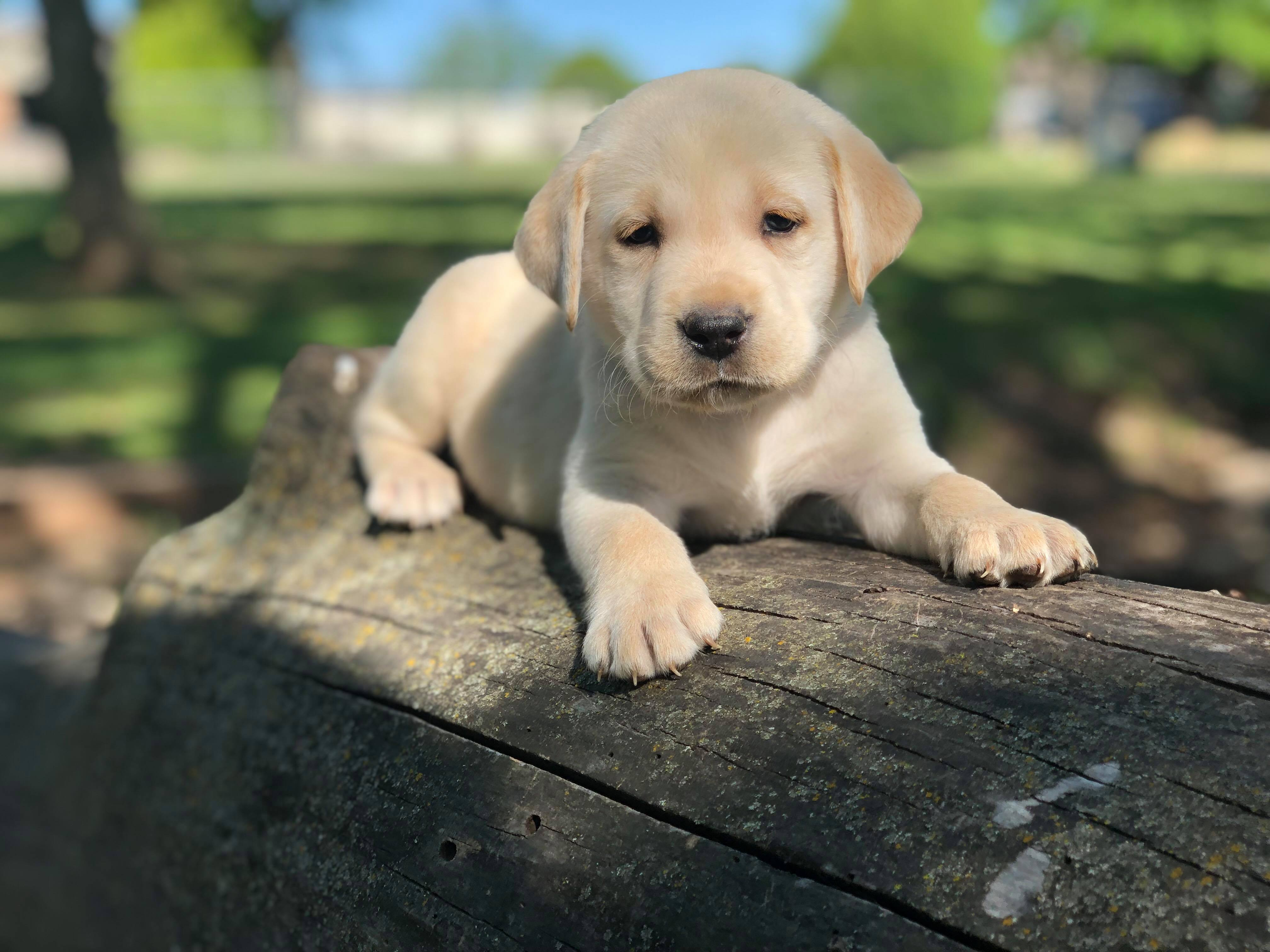 yellow-lab-AKC-breeder-Oklahoma-upcoming-litter-3-2 Lab Puppies for Sale