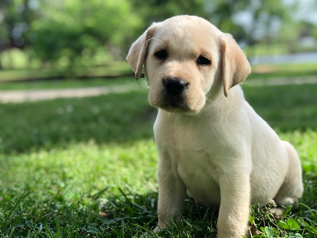 celtic Lab Puppies for Sale