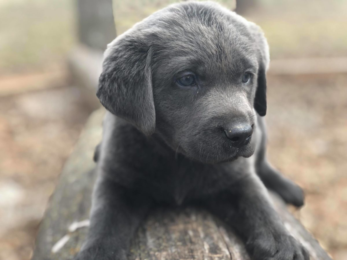 Charcoal Labrador Puppies for sale - Oklahoma - Texas - Colorado - Missouri - United States
