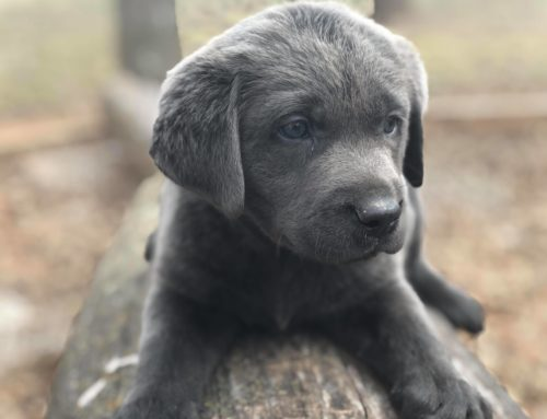Charcoal Labs for sale in Texas | Oklahoma |  Missouri