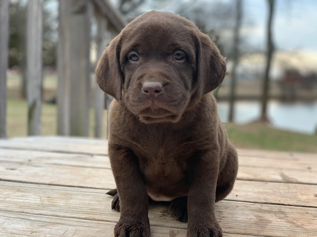 image Lab Puppies for sale Oklahoma